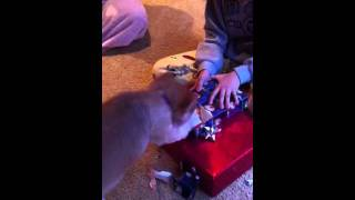 Fred The Pomeranian Opening His Christmas Gifts