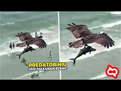 Video Ini Bukti Keganasan Elang Berburu Mangsa! Ikan Hiu jadi Santapan Sang Predator Penguasa Langit