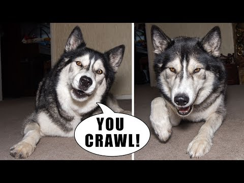 Teach An Argumentative Husky To Crawl | Plus Bloopers