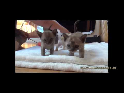 Burmese cat kittens