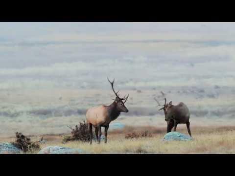 Elk - One Of North America's Most Photogenic Species.