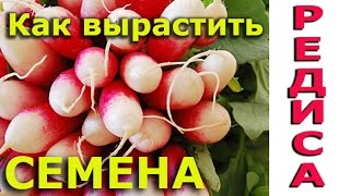семена редиски Как вырастить самому семена редиса