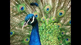 Мастер-класс Павлин из изолона | DIY Peacock