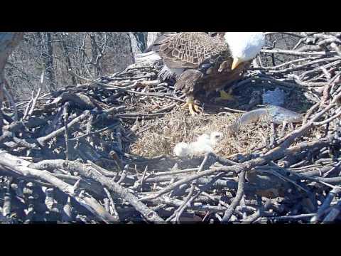 EAGLE CAM 2017- EAGLE SCARED BY FISH - ECC, MPDC - Washington, DC - #EggWatch2017