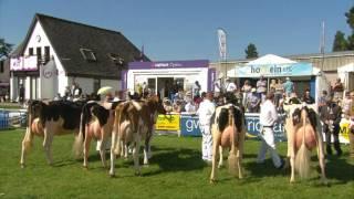 Gwartheg Godro - Heffer | Dairy Cattle - Heifer