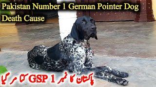Pakistan Ka Sab Say Number 1 German Pointer Dog Mar Gya   GSP Dog    Syed Asmeen Vlogs