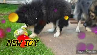 Finnish lapphund puppy playing with new toy