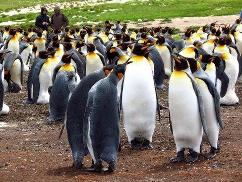 South America & Antarctica part 4 of 10 (Falkland Islands: Volunteer Point)