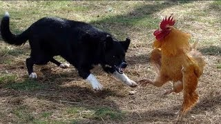 Fighting Between Hunter and Hunting Dog & Hen bird | How to Fight Fighter Dog and Hen