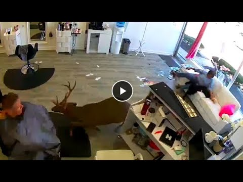 Carmine - Deer Jumps Through Window Of Hair Salon!