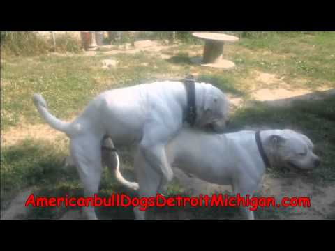 bully size american dog bullies collections top deposit stud studs on texas o products
