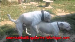 How To Stud Your Dog American BullDogs Pt 2