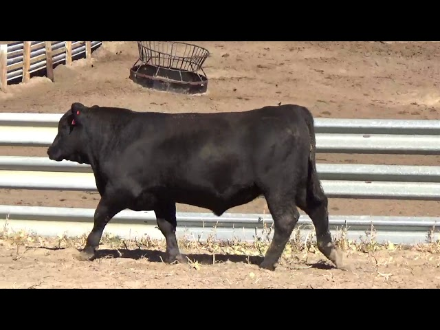 Connealy Angus Lot 40