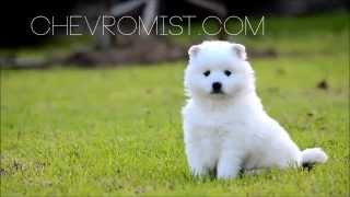 Cute Japanese Spitz Puppies