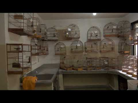 Various songbirds (Passerine) in cages, confiscated from illegal wildlife trade, Brazil.