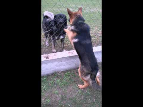 pastore gjerman qen sharri