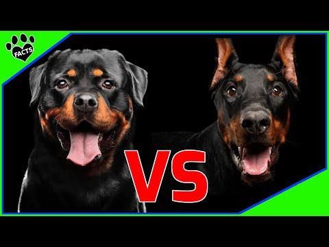 Rottweiler Vs Doberman Pinscher Which is Better? Dog vs Dog