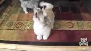 Pas koji urla (Kao da ga kolju)