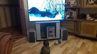 Привёз телевизор.по ходу для кошки!кроме неё никто не смотрит)))