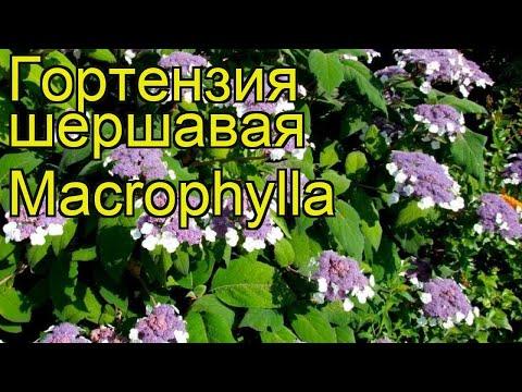 Гортензия шершавая Макрофилла. Краткий обзор, описание характеристик hydrangea aspera Macrophylla