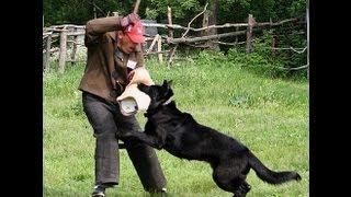 Восточно-европейская овчарка видео FullHD 2013