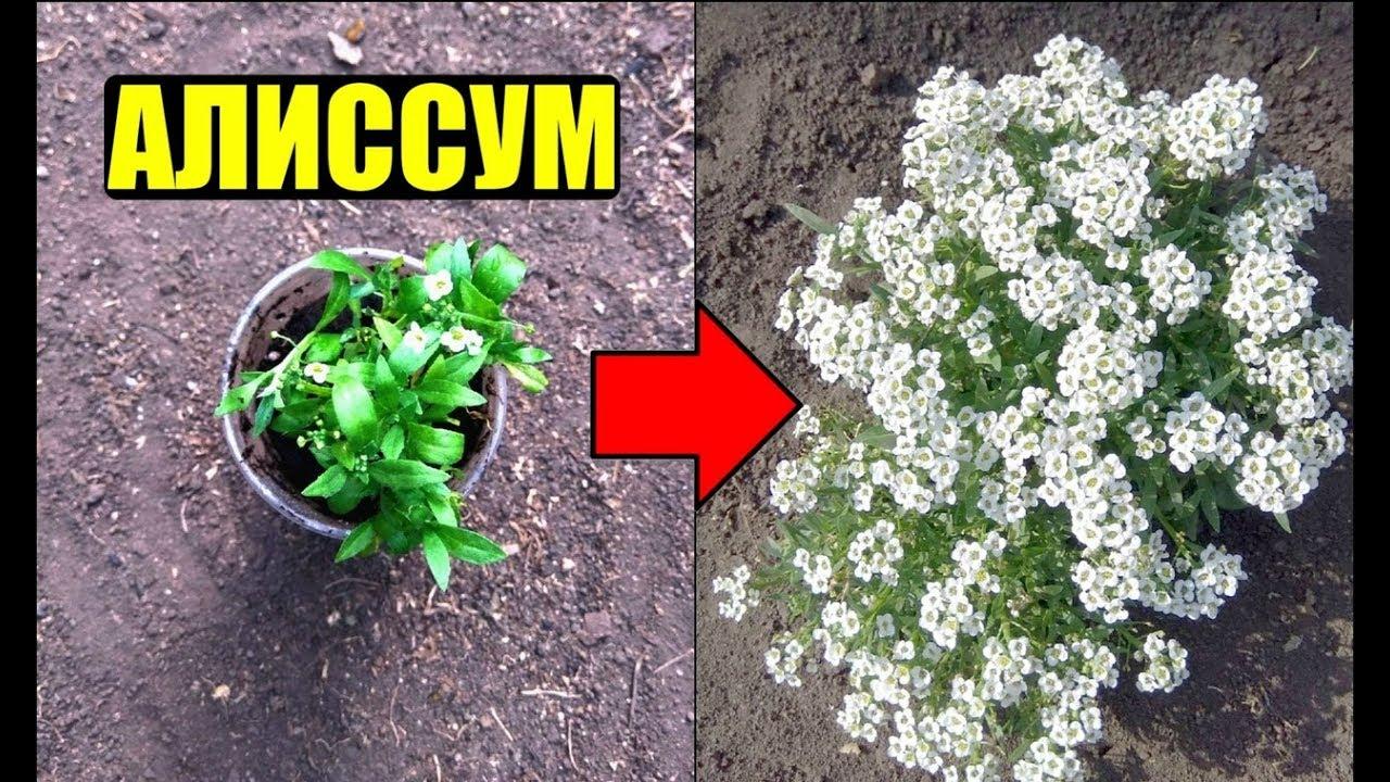 Алиссум - выращивание из семян. Уход.
