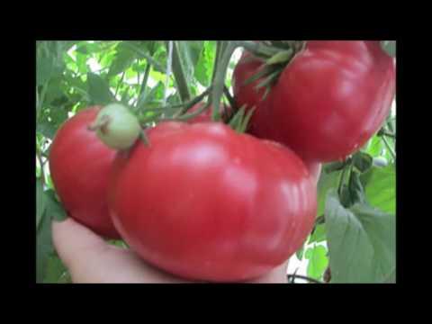 томат Китайский розовый   сорт  компания АЛТАЙСКИЕ  СЕМЕНА