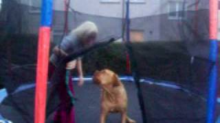 Ruby The Dogue De Bordeaux On Trampoline
