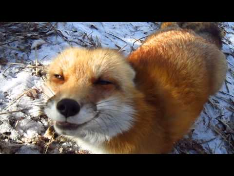 RonRon the fox and the great blizzard of 2015