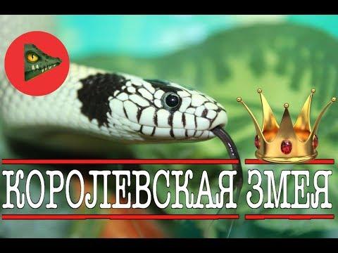 Королевские змеи! САМЫЕ КРАСИВЫЕ ЗМЕИ ПЛАНЕТЫ! /Kingsnake/