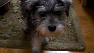 Mini Schanuzer Puppy Pepper Playing