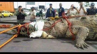 Пойман САМЫЙ БОЛЬШОЙ КРОКОДИЛ В МИРЕ (крокодил убийца)