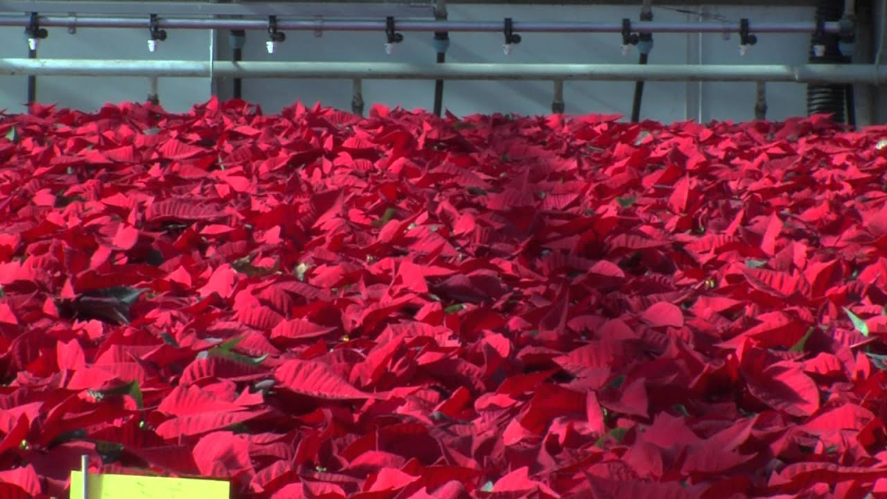 How To Choose And Grow Poinsettia Youtube