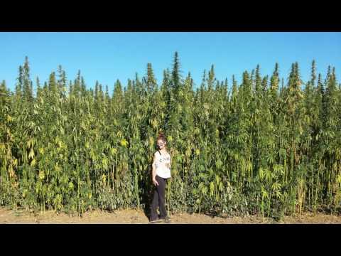 Autoflowering CBD Industrial Hemp Harvest