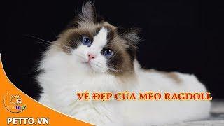 Mèo Ragdoll - Giống Mèo Xinh Đẹp Mà Nhiều Người Chưa Biết | Petto TV