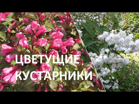 Цветущие кустарники в моем саду. Вейгела   Про Сад с Любовью
