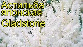 Астильба японская Глэдстоун (Gladstone). Краткий обзор, описание характеристик, где купить рассада