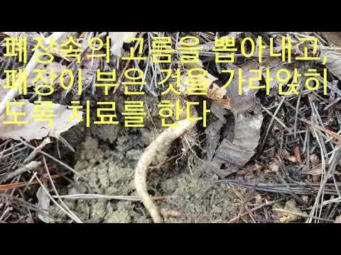 폐암을 한방에 치료하는 최고~좋은 이~뿌리?,(생으로 먹고,반찬으로 먹는다)!!