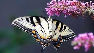 Красивые бабочки планеты