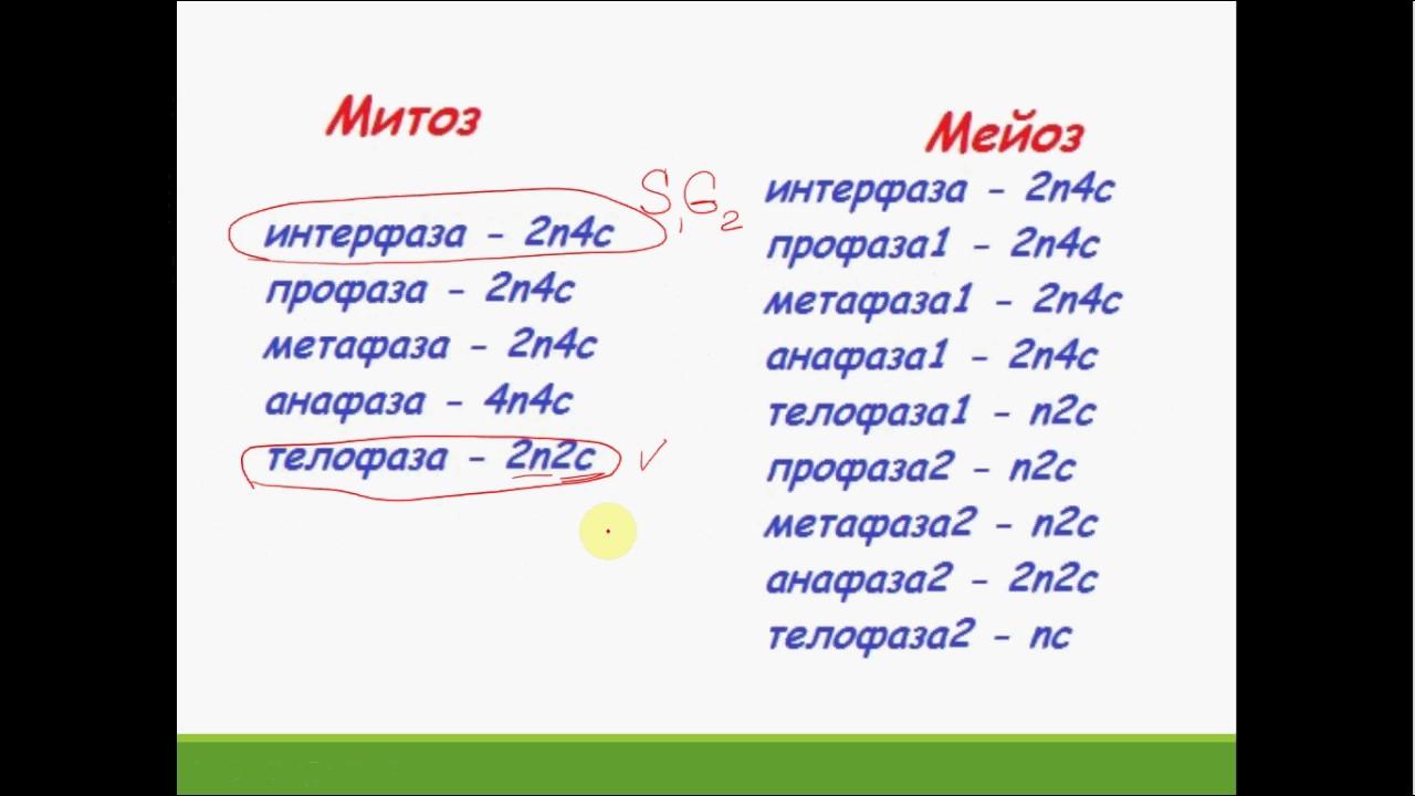 задачи на митоз и мейоз с решением