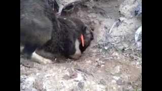 Охота на енота в норе с лайкой