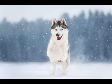 top-10-interesting-facts-siberian-husky-you-need-to-know