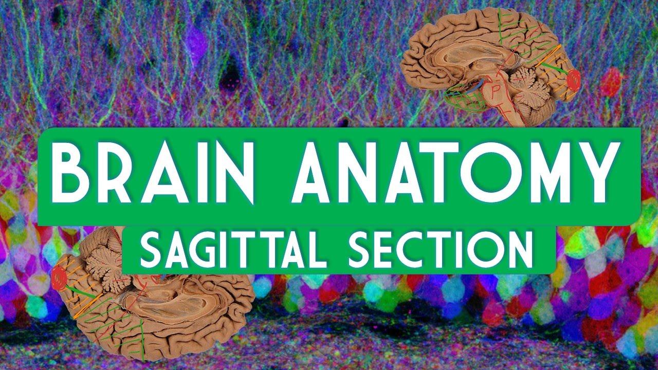 Brain Anatomy Sagittal Section - YouTube
