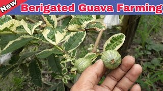 Guava Plant: Variegated Guava Tree For seals. Help Line No.8514981670