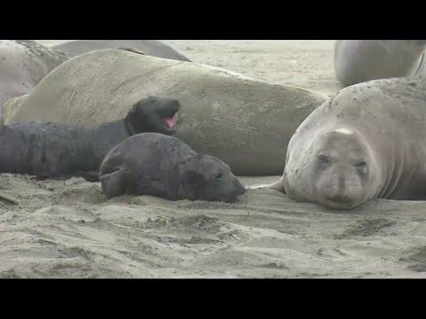 Gov't Shutdown Brings Elephant Seals To Point Reyes Beach