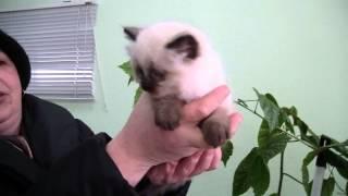 Бирманский котенок Лакки Биди