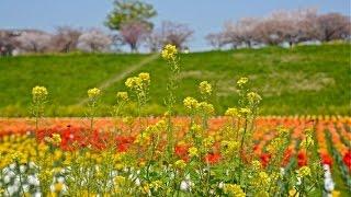 荒川河川敷のチューリップ畑です。チューリップ畑だからチューリップが...