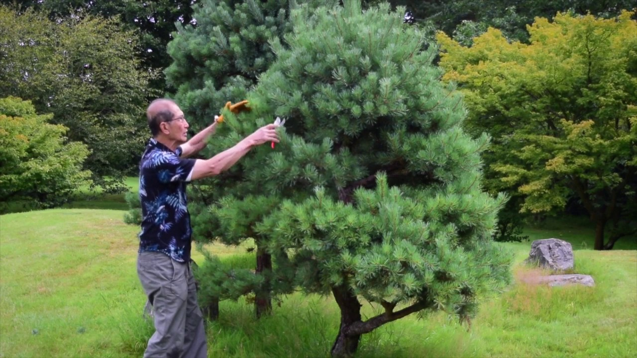 Pruning Niwaki Japanese Garden Trees Youtube
