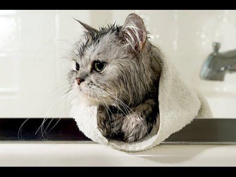 お笑い   バイン   |おかしい猫の水は失敗します  水対猫|  面白い猫の入浴のコンパイル