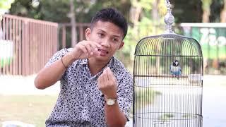 Download lagu Perawatan lovebird Betina Single Agar stabil!!!